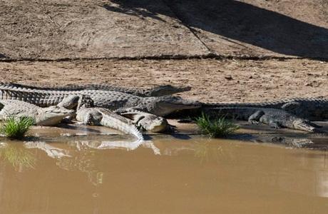 Unos 15 mil cocodrilos se escapan de granja turística en Sudáfrica