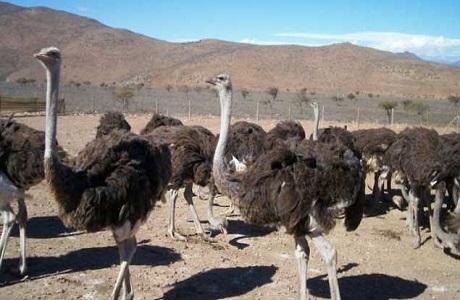 Nuevo brote de gripe aviar en granja de avestruces en Sudáfrica